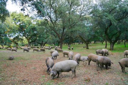 porc iberic devesa pastura montanera