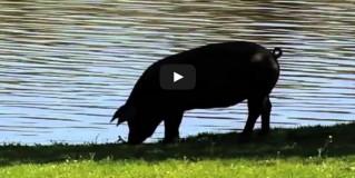 El Porc Ibèric Espanyol i el Pernil de Gla