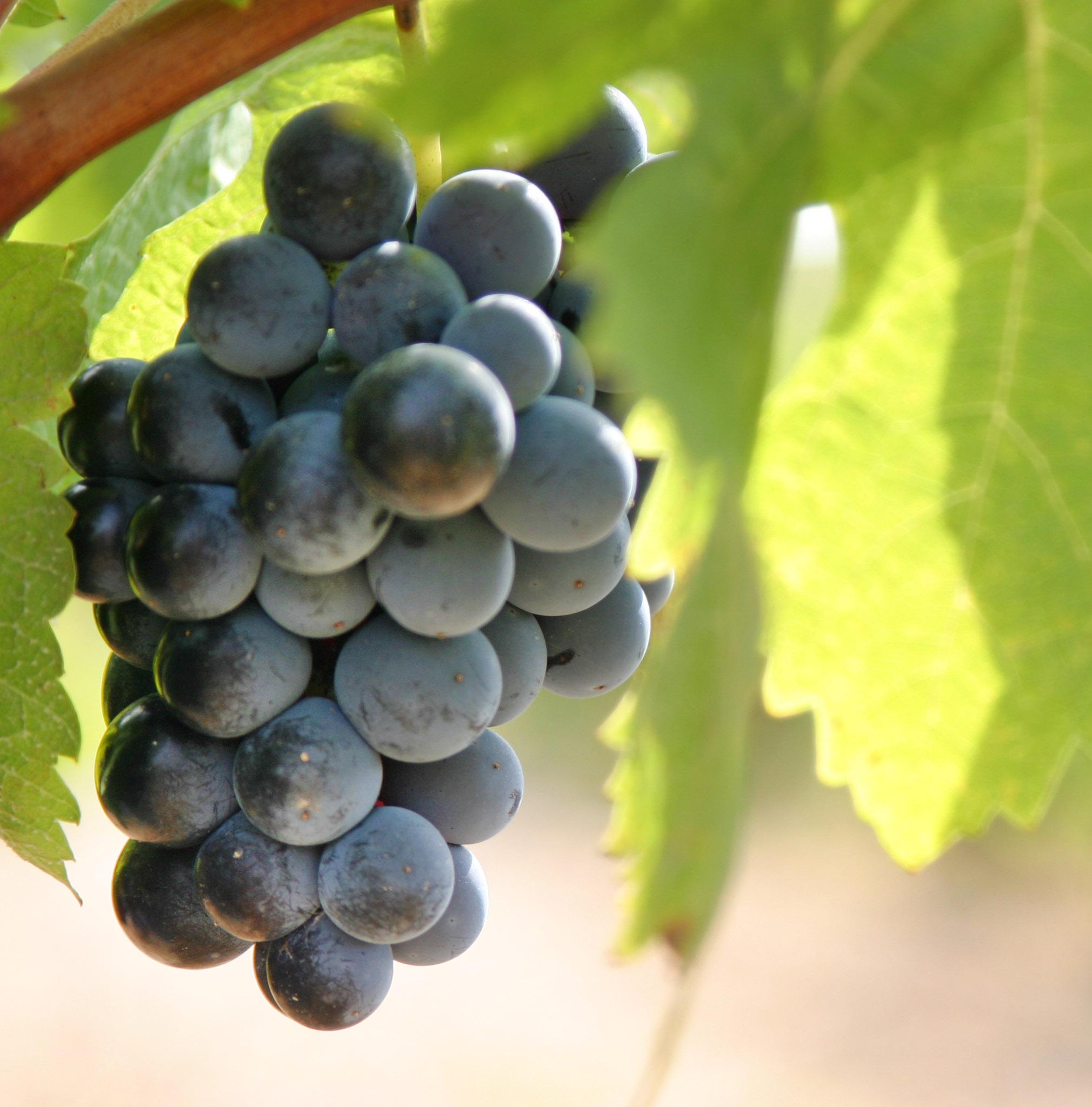 Verema raïm vi negre