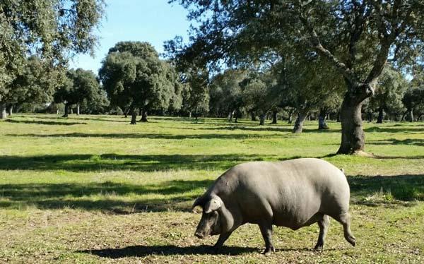 pernil iberic porc femella millor mascle